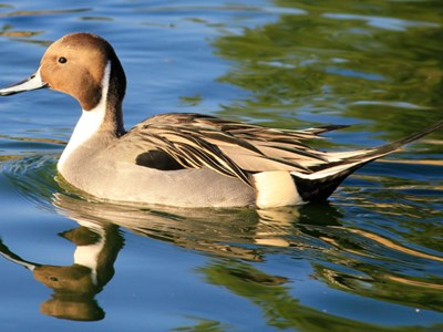 Portrait of Northern Pintail (Anas Acuta) into the water