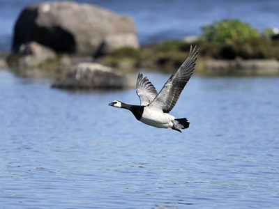 Barnacle Goose (Branta Leucopsis) adult female in flight over the sea
