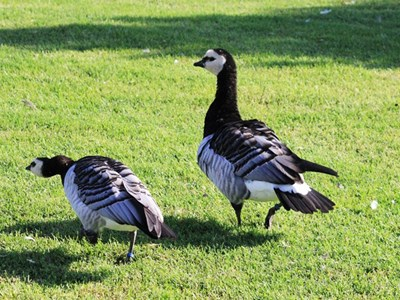 Barnacle Goose (Branta Leucopsis) adult pair in the spring meadow
