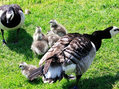 Barnacle Goose (Branta Leucopsis) family near nest