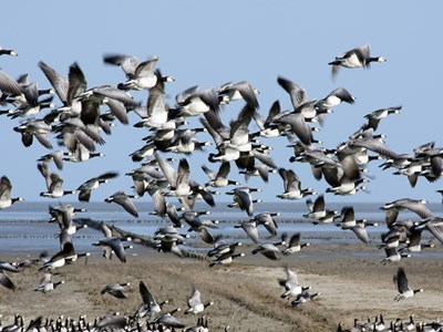 Barnacle Goose (Branta Leucopsis) flock in flight