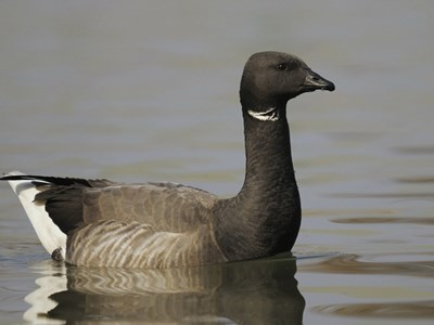 Portrait of Brent Goose (Branta Bernicla Bernicla) adult gander into the water