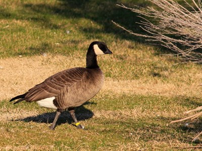 Cackling Goose (Branta Canadensis Minima) breeding gander in the meadow