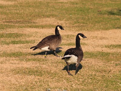 Cackling Goose (Branta Canadensis Minima) adult pair in the meadow