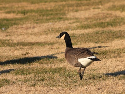 Cackling Goose (Branta Canadensis Minima) adult gander in the meadow