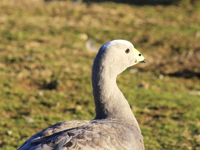 Portrait of Cape Barren Goose (Cereopsis Novaehollandiae) adult female