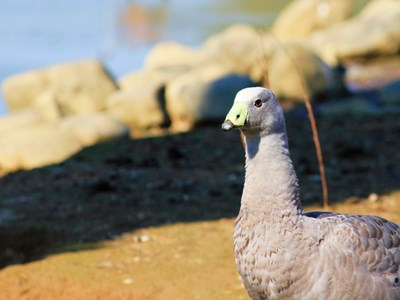Portrait of Cape Barren Goose (Cereopsis Novaehollandiae) adult gander