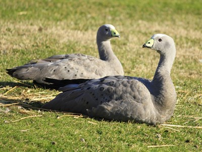 Cape Barren Goose (Cereopsis Novaehollandiae) adult pair in the meadow