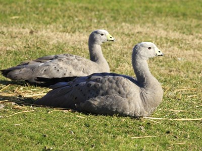 Cape Barren Goose (Cereopsis Novaehollandiae) pair in the spring meadow