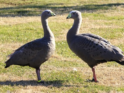 Cape Barren Goose (Cereopsis Novaehollandiae) adult pair during courtship