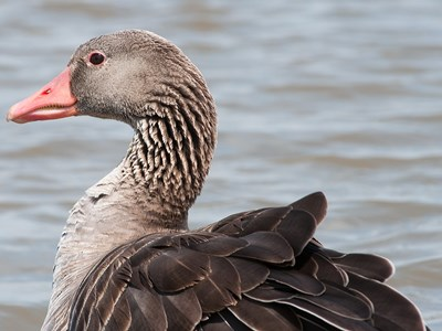 Adult female of Greylag Goose (Anser anser) in the foreground