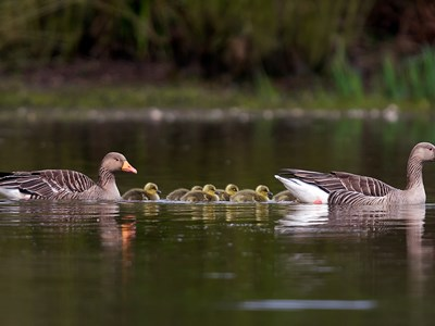 Breeding pair of Greylag Goose (Anser anser) into the water with goslings