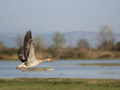 Adult male of Greylag Goose (Anser anser) in flight over the lagoon