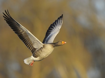 Beautiful male of Greylag Goose (Anser anser) in flight