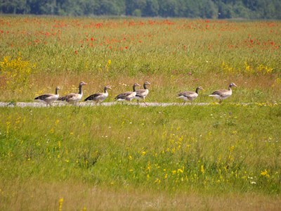 Colony of young Greylag Geese (Anser anser) during grazing