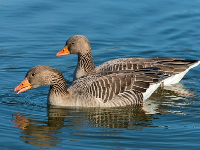Breeding pair of Greylag Goose (Greylag) in water