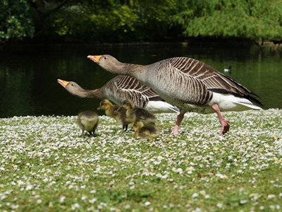 Breeding pair of Greylag Goose (Anser anser) in the grass with goslings