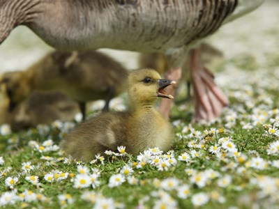 Young Greylag Goose (Anser anser) in the foreground