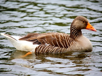 Breeding female of Greylag Goose (Anser anser) in water on Allevamento Poggio di Ponte