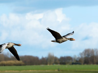 Adults of Greylag Goose (Anser anser) in flight