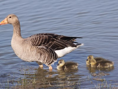 Adult female of Greylag Goose (Anser anser) in water with offspring