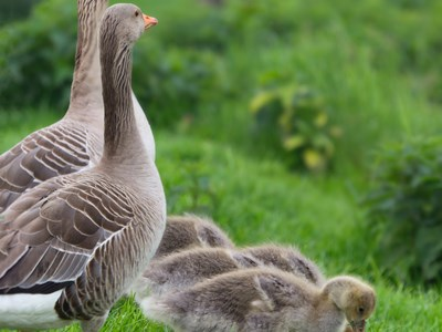 Lovely family of Greylag Goose (Anser anser) in the spring meadow