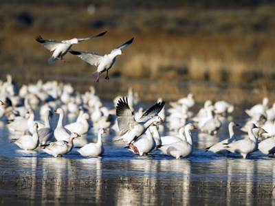 Impressive flock of Snow Goose (Anser caerulescens) in the lake