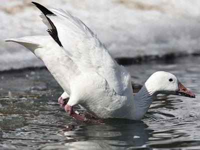 Adult male of  Snow Goose (Anser caerulescens) in the cold winter water
