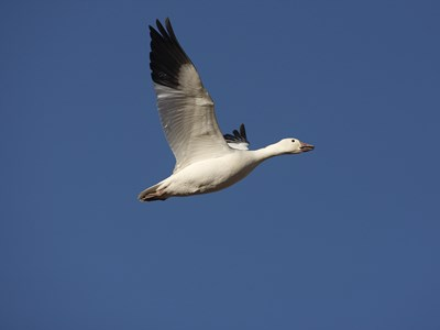 Majestic male of  Snow Goose (Anser caerulescens) flying solo