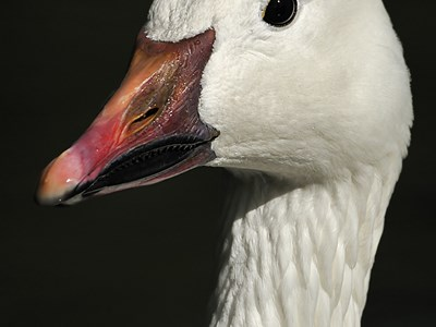 Specimen of Snow Goose (Anser caerulescens) in the foreground