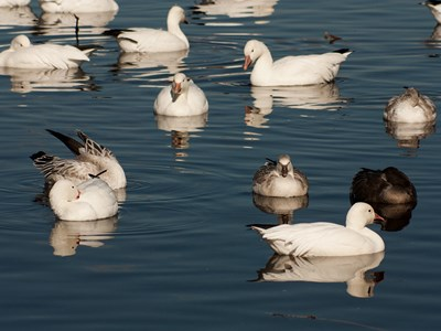 Flock of Snow Goose (Anser caerulescens) in the calm winter water
