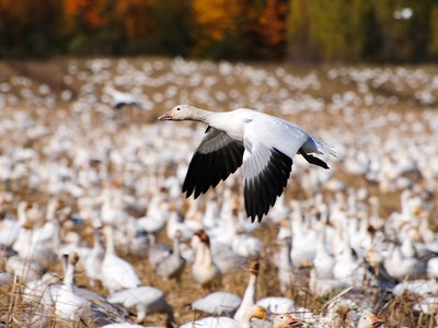 Specimen of  Snow Goose (Anser caerulescens) flying in the foreground