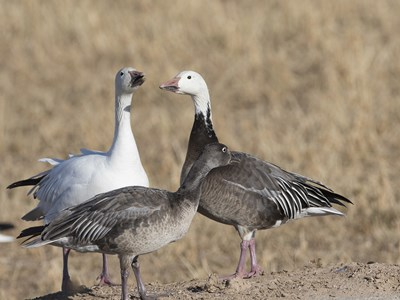 Some spiecemens of  Snow Goose (Anser caerulescens) in the steppe