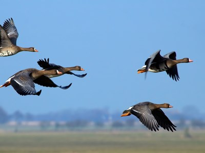 Flock of Greater White-fronted Goose (Anser albifrons) in grazing flight