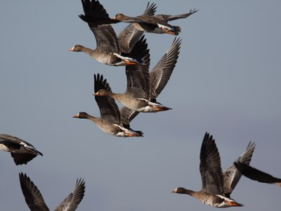 Majestic specimens of Greater White-fronted Goose (Anser albifrons) in flight