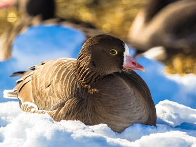 Gorgeous breeding male of Greater White-fronted Goose (Anser albifrons) on the snow
