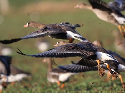 Flock of Greater White-fronted Goose(Anser albifrons) in flight
