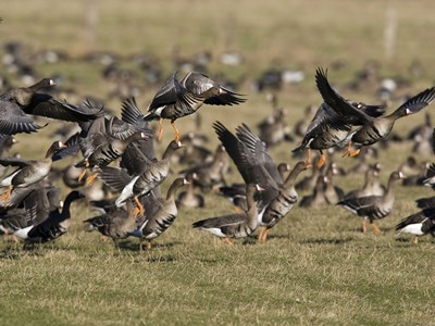 Several specimens of Greater White-fronted Goose (Anser albifrons) in wintering
