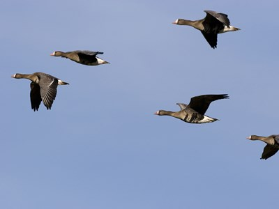 Young specimens of Greater White-fronted Goose (Anser albifrons) in formation flight