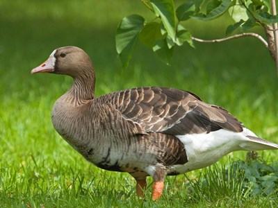 Young of Greater White-fronted Goose (Anser albifrons) on the Allevamento Poggio di Ponte