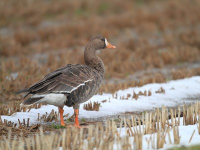 Male of Greater White-fronted Goose (Anser albifrons) in a winter swamp